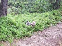 Klara i blåbärsskogen