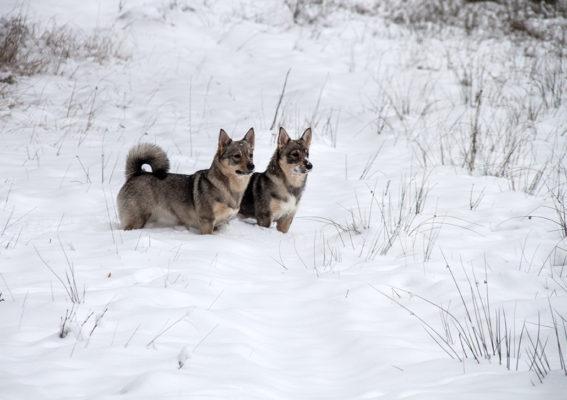 Klara och Greta i den vintervita skogen